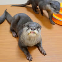 Otters are seen at an otter cafe in Tokyo's Ikebukuro district in September. A ban on the international commercial trade of endangered otters from Southeast Asia will take effect later this month. | KYODO