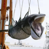 A minke whale is offloaded from a whaling vessel at Kushiro port in Hokkaido on Sept. 2. | KYODO