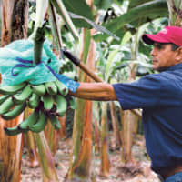 TropicalFruit makes sure that all the bananas it exports around the world comply with strict quality standards. Their bananas undergo very close inspection. | © TROPICALFRUIT S.A.