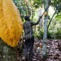 A farmer works on a cocoa farm in Bobia, Gagnoa, Cote d'Ivoire, Dec. 6 | REUTERS