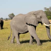 Botswana bans pro hunting pair after killing of research elephant