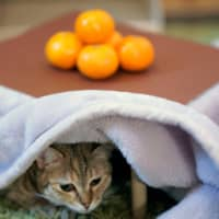 Cat under the <i>kotatsu</i>: Wakayama chicken meat seller runs fruity campaign to help felines
