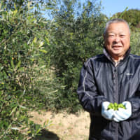 Chilly Ishinomaki taps olive oil to boost tsunami recovery