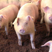 Japan approves research program to grow human organs in pigs