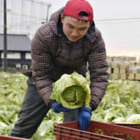 A technical intern from Vietnam harvests a cabbage in Ibaraki Prefecture in January. | KYODO