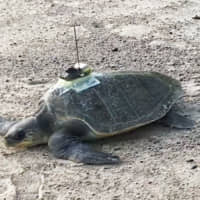 Team including Japanese researchers uses sea turtles to predict ocean temperature change