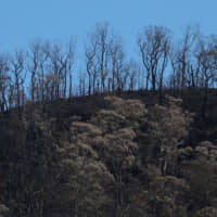 Charred trees are pictured on a hill, burned during the recent bushfires, near Kangaroo Valley, New South Wales, Australia,Tuesday. | REUTERS