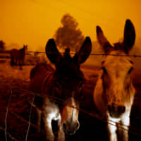 Animals are seen in Cobargo as bushfires continue in New South Wales Sunday. | REUTERS