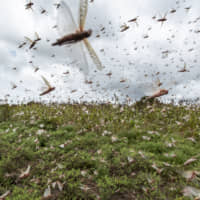 Swarms of desert locusts fly up from crops in Katitika village, Kitui county, Kenya, Jan. 24. Desert locusts have swarmed into Kenya by the hundreds of millions from Somalia and Ethiopia, countries that haven't seen such numbers in a quarter-century, destroying farmland and threatening an already vulnerable region. | AP