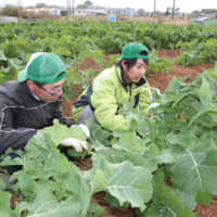 Workers with Sigma Farm Toin in the town of Toin, Mie Prefecture, harvest Mie Nabana rapeseed. | CHUNICHI SHIMBUN