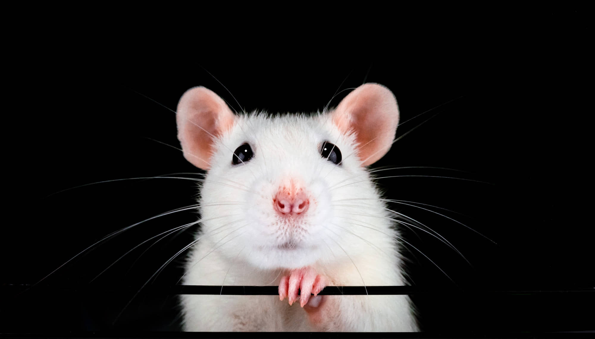 Family ties: The rat is associated with family and fertility, so expect this to be a year of hanging with parents, siblings or your kids. | GETTY IMAGES