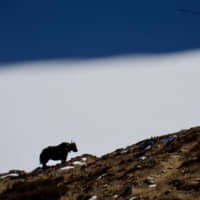 Shaggy sentinel: A long-haired yak stands silhouetted on a ridge above Gokyo's frozen lake. | OSCAR BOYD