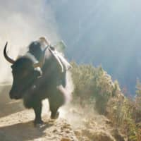 Dusty: Yak trains are a frequent encounter on the trail to Everest Base Camp. | OSCAR BOYD