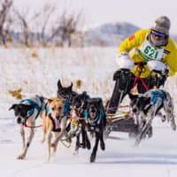 Chasing tails: Now in its 37th year, the Japan Cup Dogsled Race in Wakkanai, Hokkaido, pits teams of dogs and racers against one another. | COURTESY OF JAPAN CUP ALL-JAPAN DOGSLED RACE WAKKANAI COMMITTEE