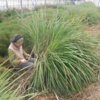 Fragrant herbs: Marie-Josee Laforest harvests lemongrass in her greenhouse.