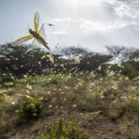 Somalia declares locust plague emergency, appeals for funding