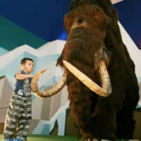 Inbreeding plagued the last woolly mammoths