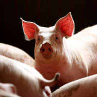 Meatable grows pork in a lab using a single cell sourced from a living animal 'in a completely painless way.' | REUTERS