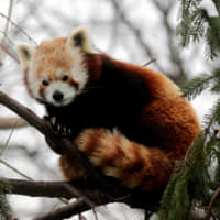 Red panda is actually two species, DNA shows