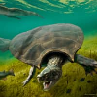 Fossils of 1-ton fighting turtle found in South America