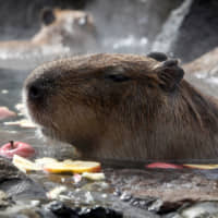 Capybaras sit inside a hot tub full of apples at Izu Shaboten Koen in Ito, Shizuoka Prefecture, on Saturday. | REUTERS