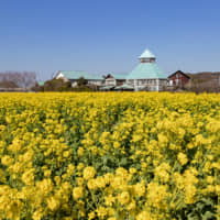 Springtime in Minamiboso: From January to March every year, people are drawn to the Boso Peninsula for its fields of rapeseed flowers. | GETTY IMAGES