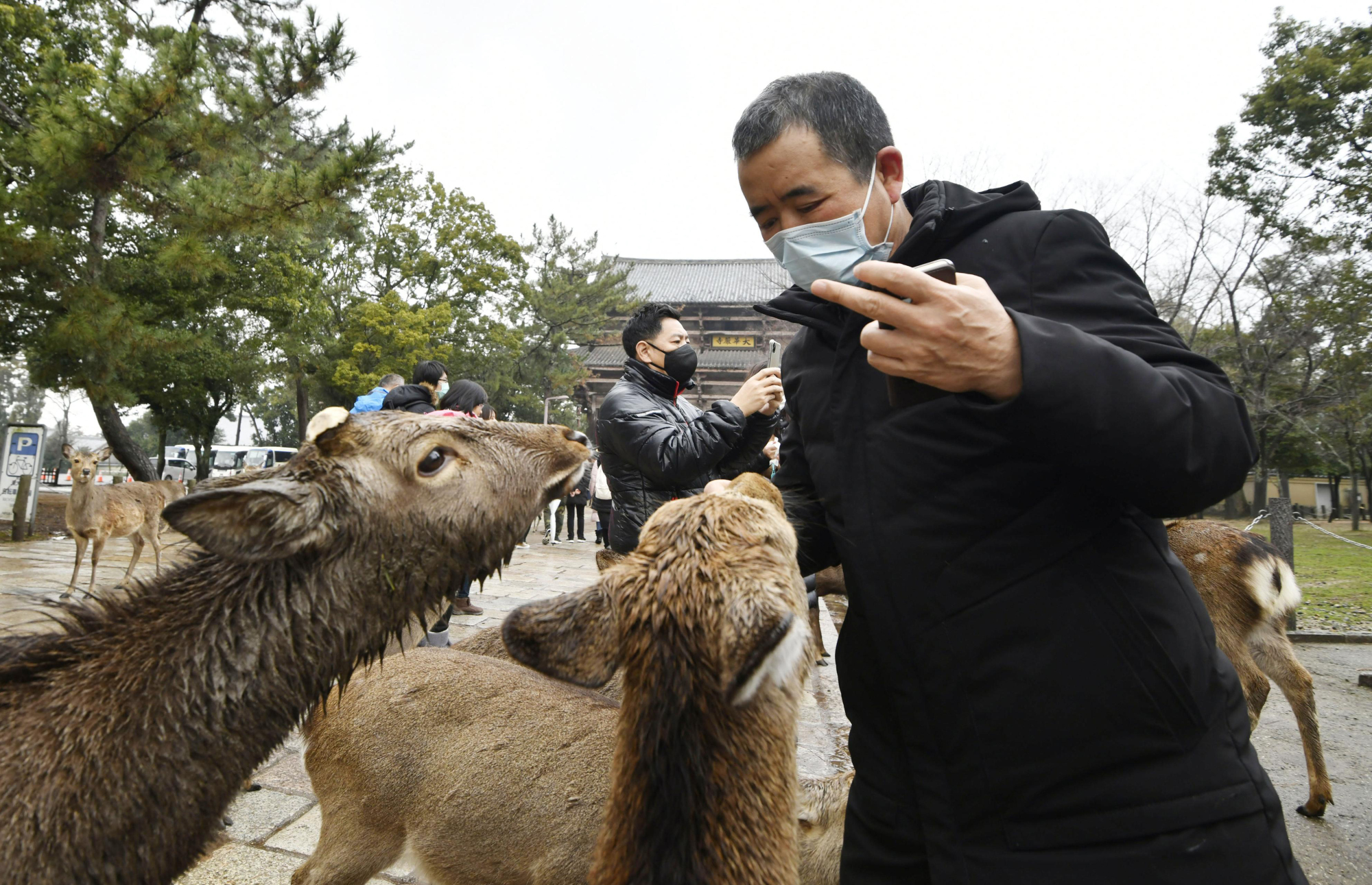 Horns of a dilemma: Deer at Nara Park gather around a man in an attempt to secure food. Sales of deer crackers at the park are only about half of what they were before China barred tour groups from visiting Japan.   KYODO