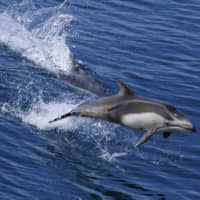 Visitors to the city of Mutsu, Aomori Prefecture, can enjoy dolphin-watching excursions held from May to June during which Pacific white-sided dolphins visit Mutsu Bay. | CITY OF MUTSU