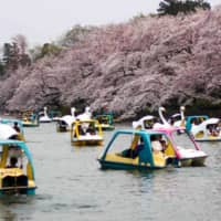 Cherry trees in full bloom in Tokyo's Inokashira Park | GETTY IMAGES | GETTY IMAGES