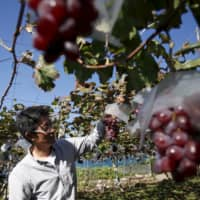 Soichi Furuya, a third-generation fruit farmer, stands near grape vines at a farm in Fuefuki, Yamanashi Prefecture. The government said Friday it wants to more than double the nation's agriculture, fishery and forestry exports to ¥2 trillion by 2025.   REUTERS
