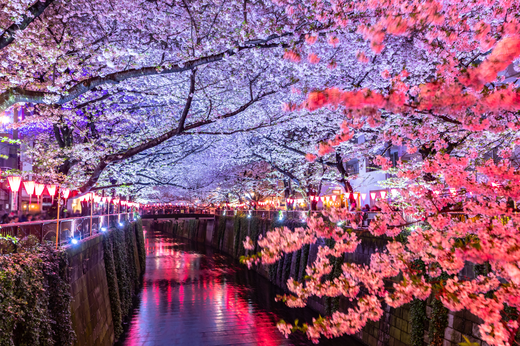 Despite calls for self-restraint in organizing large events to help prevent the spread of the new coronavirus, Ehime Gov. Tokihiro Nakamura said he won't urge the cancellation of hanami parties. | GETTY IMAGES