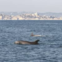 A group of dolphins swims in the Mediterranean Sea at the Calanques National Park, off the coast of southeastern France, on March 19. As countries around the world have put into place national lockdowns to limit the spread of the new coronaviru, animals have been observed venturing further into areas which usually have a human presence. | LIONEL LASO / PARC NATIONAL DES CALANQUES / VIA AFP-JIJI