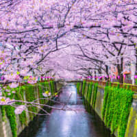 Look, don't stop: The Tokyo government is urging people not to gather for cherry blossom parties at famed spots such as Meguro River in an attempt to get the spread of coronavirus under control. | GETTY IMAGES