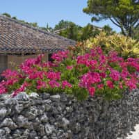 Bougainvillea highlight an old coral garden wall on Taketomi Island, Okinawa. | STEPHEN MANSFIELD