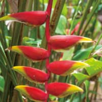 Bracts of the hanging heliconia, a floral element in the tropics | STEPHEN MANSFIELD
