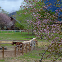 Nature's balm: The Afan Woodland Trust's horses enjoy the spring weather under cherry blossom in their paddock in Nagano Prefecture. | C.W. NICOL AFAN WOODLAND TRUST