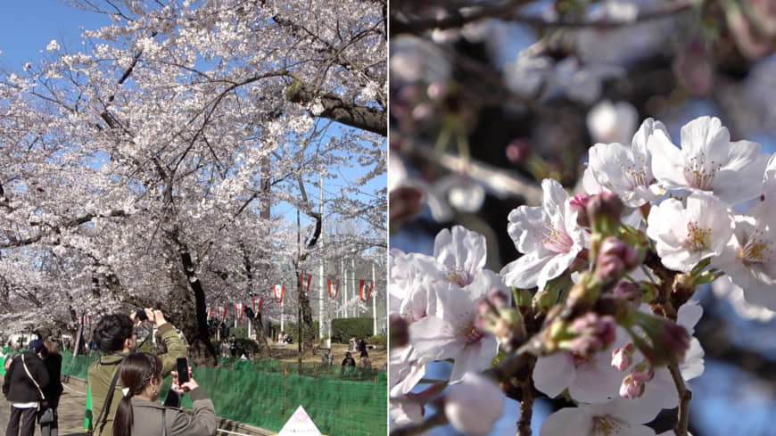[VIDEO] Cherry blossoms in Tokyo 2020