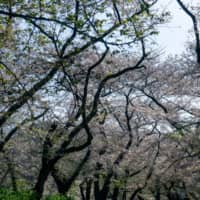 Hanami's not over: Didn't get the chance to see the cherry blossom this year? Check it out now in virtual reality. | OSCAR BOYD