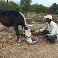 Farmer Anil Salunkhe feeds strawberries to his cow during India's 21-day nationwide lockdown in Darewadi village, in the Satara district of the western state of Maharashtra, on Wednesday.  | REUTERS