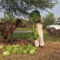 A farmer feeds iceberg lettuce to his buffalo in Bhuinj village, in India's Satara district in the western state of Maharashtra, on Wednesday.  | REUTERS