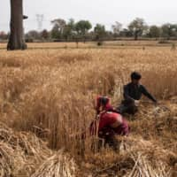 Dayaram Kushwaha and his wife, Gyanvati, harvest wheat in Jugyai village in the central state of Madhya Pradesh, India. | REUTERS