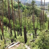 Pine trees are seen withered in a forest in Matsumoto, Nagano Prefecture, despite six years of aerial spraying of chemicals intended to prevent the spread of the pinewood nematode parasite. | CHUNICHI SHIMBUN