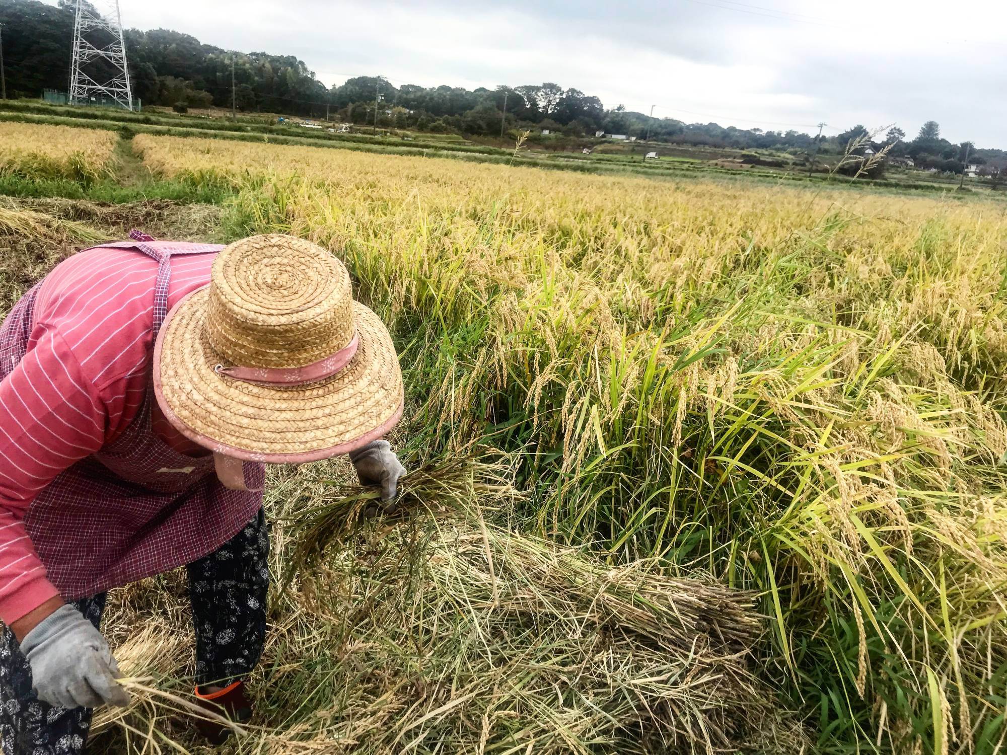 Country community: At this farm in Kanagawa Prefecture, people commute from the city on weekends and bank holidays to work with local, often elderly, farmers to grow rice, fruits and vegetables. | MOMOKO NAKAMURA