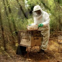 Around 200 beekeepers keep honeybees in forests owned by Celulose Nipo-Brasileira SA in Brazil. | OJI HOLDINGS CORP.