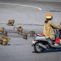 No one in Lopburi seems to remember a time without monkeys, with some speculating that the urban creep into nearby forests displaced the simians into the city. | AFP-JIJI
