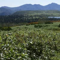 Japanese alpine plants threatened by invasion of dwarf bamboo species
