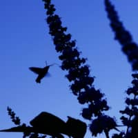 Evening drink: As the light begins to fade, a hummingbird hawk-moth uses its long proboscis to drink nectar from flowers. | MITSUHIKO IMAMORI