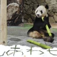 Wakayama theme park gives panda couple bamboo for Star Festival