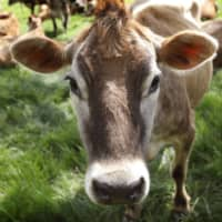 Burping cows and leaky pipelines put Earth on high-end warming track