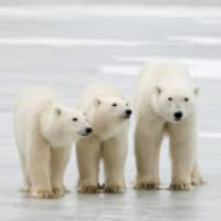 Even if humanity were able to cap global warming at 2.4 C — about half-a-degree above Paris agreement targets, but hugely ambitious all the same — it would probably only delay the polar bears' collapse. | BJ KISCHHOFFER / POLAR BEARS INTERNATIONAL / VIA AFP-JIJI